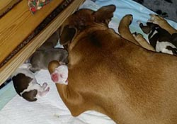 Geneviéve Dream Staff Bohemia and her puppies